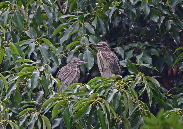 ササゴイ幼鳥2 DSC_0273