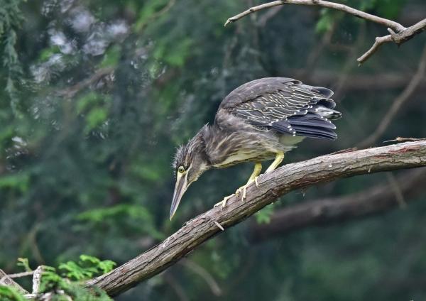 ササゴイ幼鳥3 DSC_0354