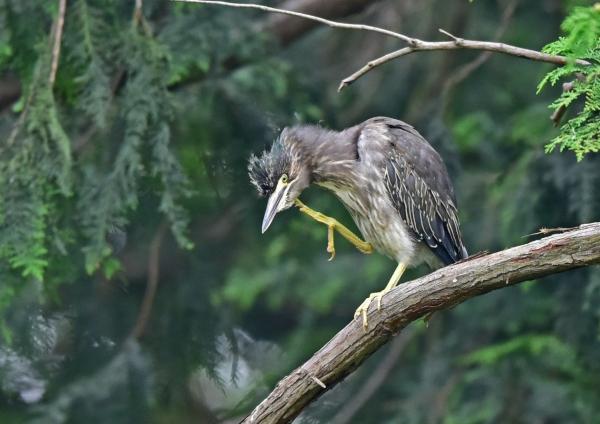 ササゴイ幼鳥4 DSC_0382