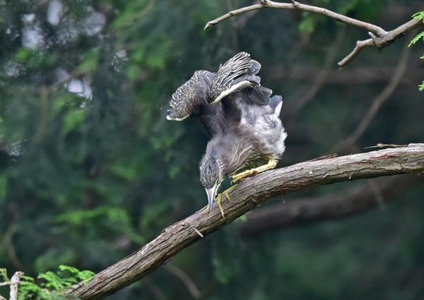 ササゴイ幼鳥5 DSC_0360