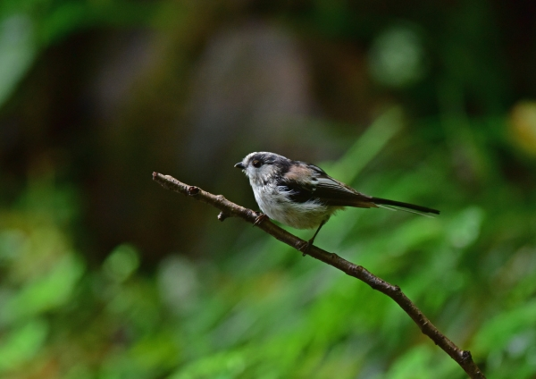 エナガ2幼鳥 DSC_0281