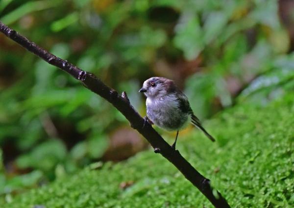 エナガ4幼鳥 DSC_0346