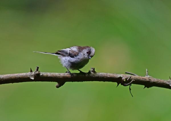 エナガ5幼鳥 DSC_0133