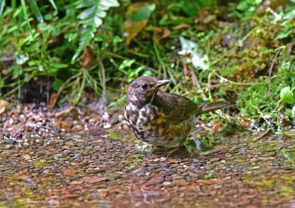 クロツグミ幼鳥1 DSC_0139