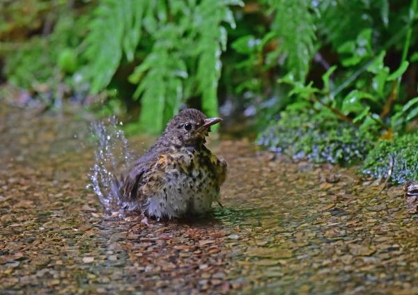 クロツグミ幼鳥2 DSC_0268