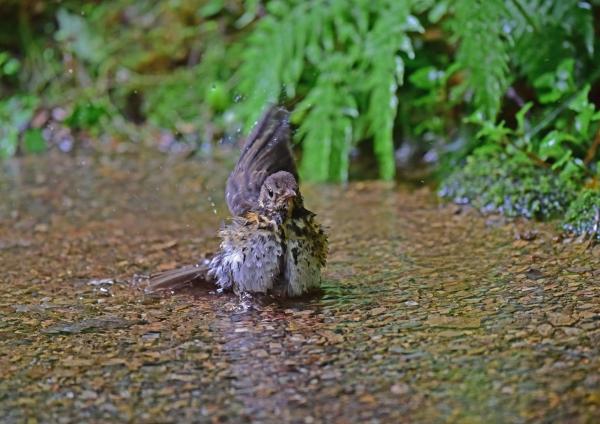 クロツグミ幼鳥3 DSC_0291