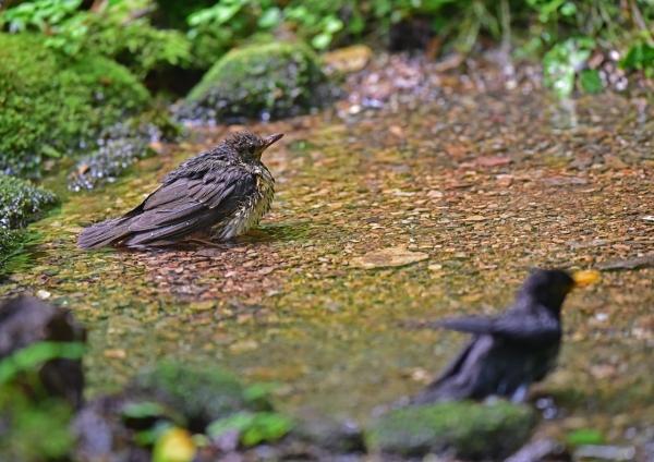 クロツグミ幼鳥4 DSC_0436