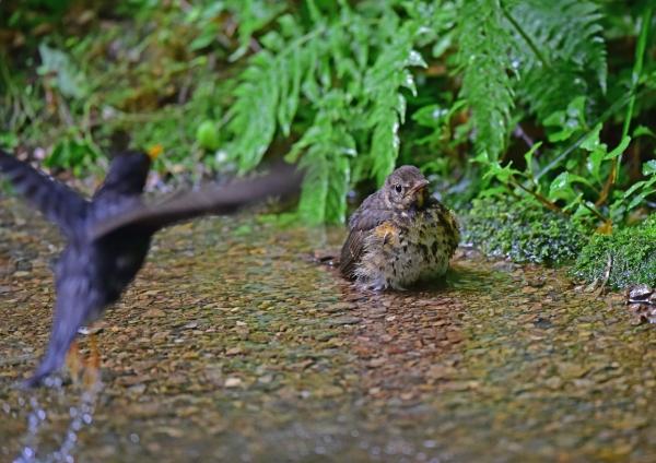 クロツグミ幼鳥5 DSC_0244