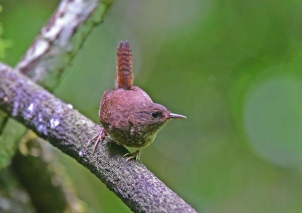 ミソサザイ幼鳥1 DSC_0017