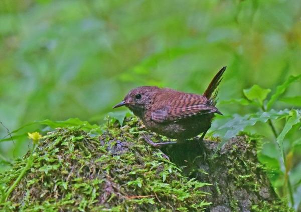 ミソサザイ幼鳥2 DSC_0190
