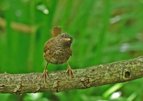 ミソサザイ幼鳥3 DSC_0188
