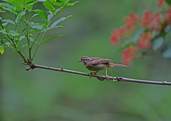 ホオジロ幼鳥1 DSC_0044