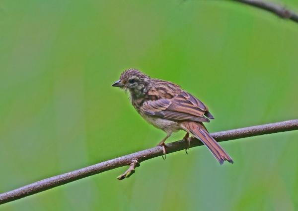 ホオジロ幼鳥2 DSC_0033