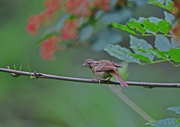 ホオジロ幼鳥3 DSC_0040