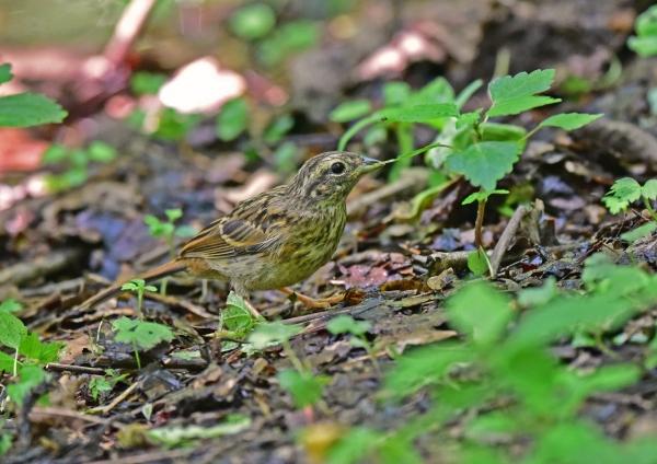 ホオジロ幼鳥4 DSC_0413