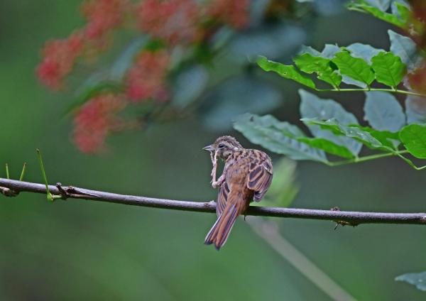 ホオジロ幼鳥5 DSC_0037