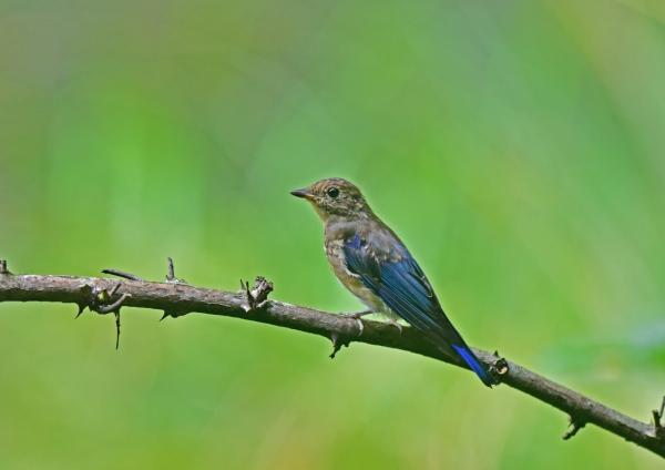 オオルリ幼鳥1 DSC_0258