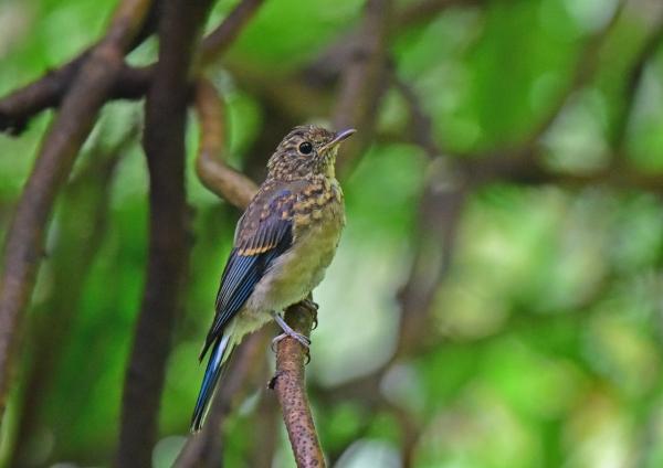 オオルリ幼鳥2 DSC_0265