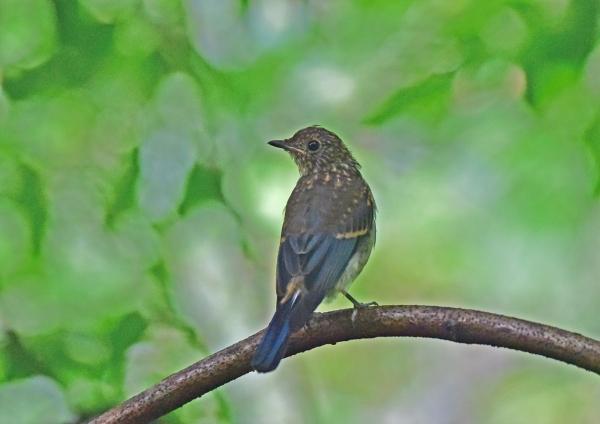 オオルリ幼鳥3 DSC_0225