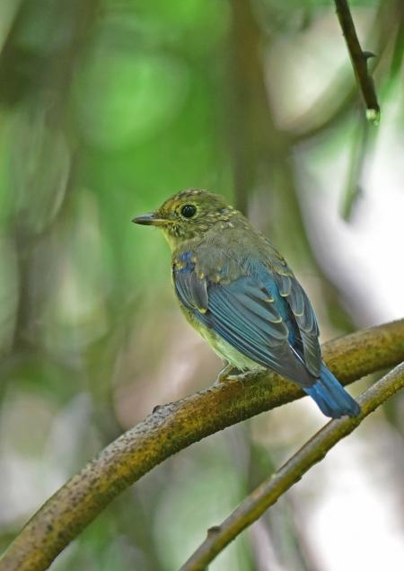 オオルリ幼鳥 5DSC_0248