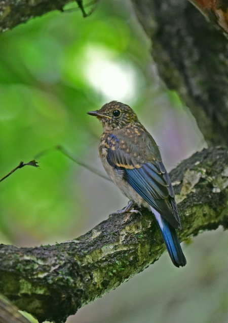 オオルリ幼鳥4 DSC_0215