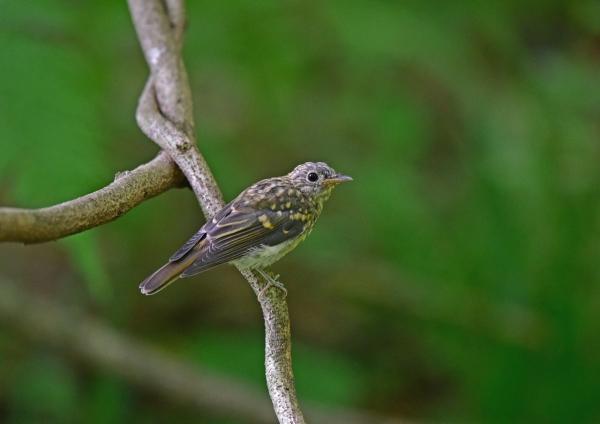 キビタキ幼鳥2 DSC_0301