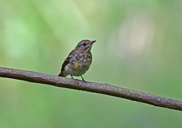 キビタキ幼鳥3 DSC_0032