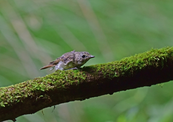 キビタキ幼鳥4 DSC_0121