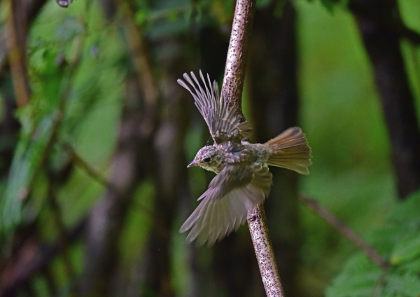 キビタキ幼鳥5 DSC_0268