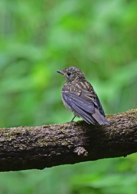 キビタキ幼鳥1 DSC_0246