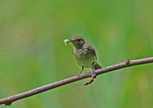 キビタキ幼鳥8 DSC_0459