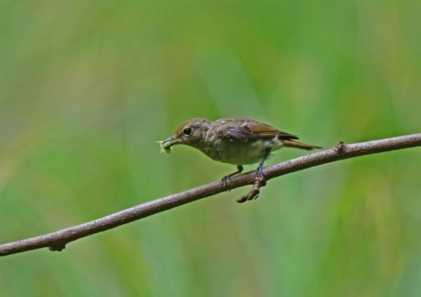キビタキ幼鳥10 DSC_0468