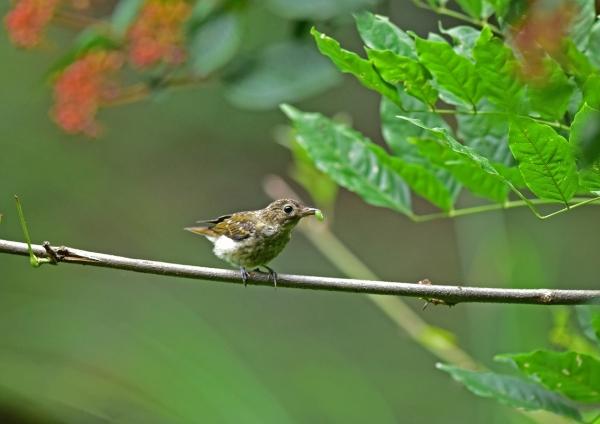 キビタキ幼鳥9 DSC_0149