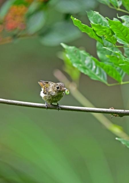 キビタキ幼鳥6 DSC_0146
