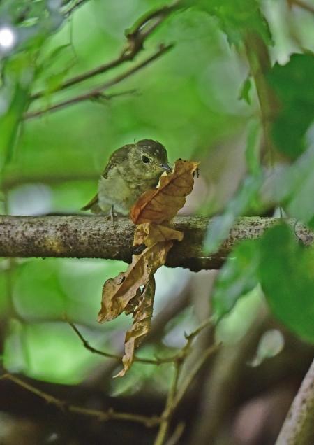 キビタキ幼鳥7 DSC_0115