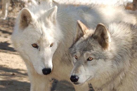 オオカミ 犬
