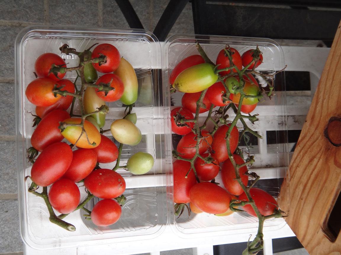 ミニトマト販売5