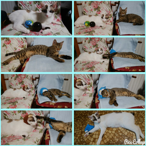 727 猫兄弟被り物 コラ