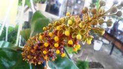 ネペンテス・ダイエリアーナの花①_R
