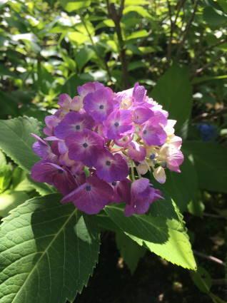 紫陽花001