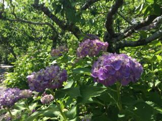 紫陽花002