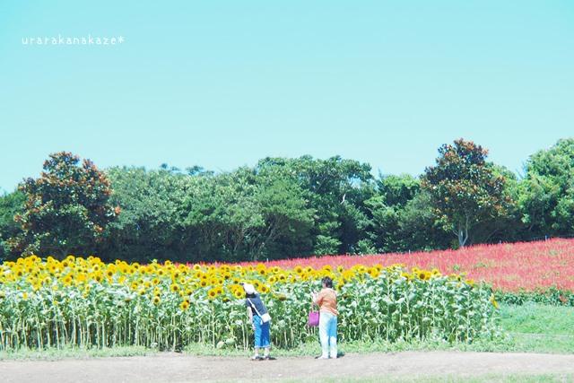 あわじ花さじき ひまわり畑