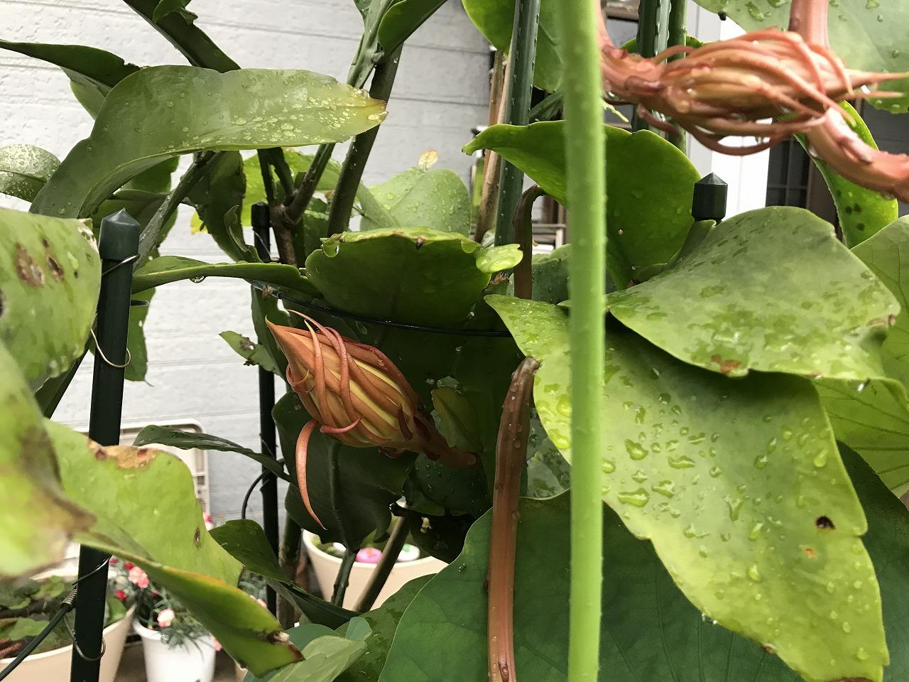 20170705-EpiphyllumOxpetalum-I01.jpg
