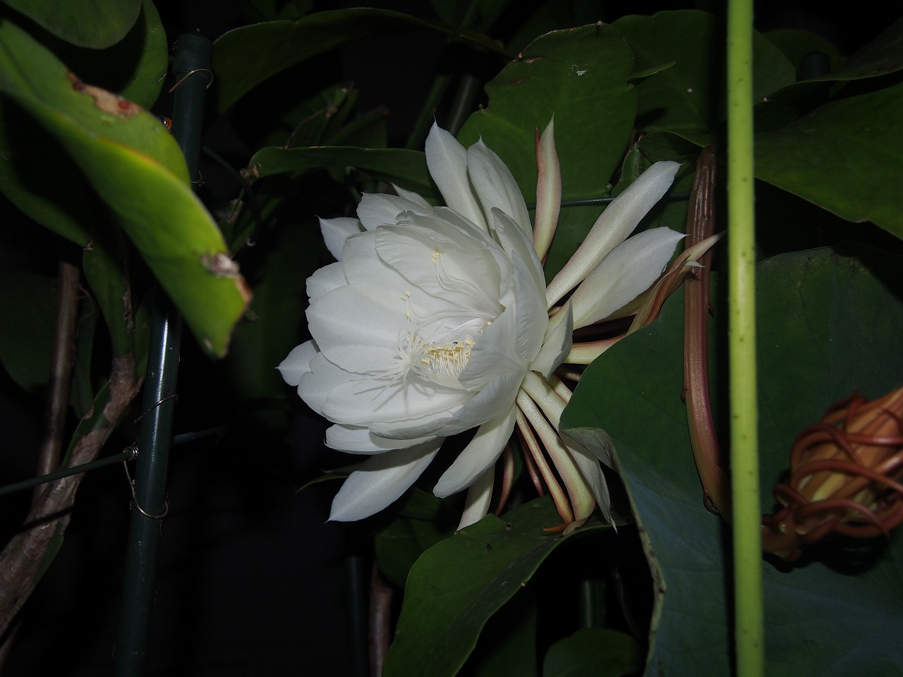 20170705-EpiphyllumOxpetalum-O10.jpg