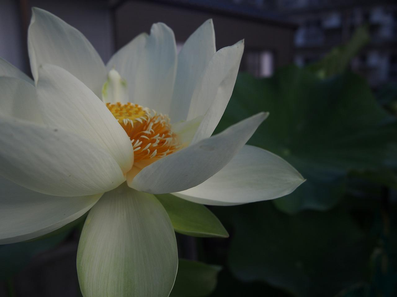 20170705-Lotus_Kougyokuhai2-O02.jpg