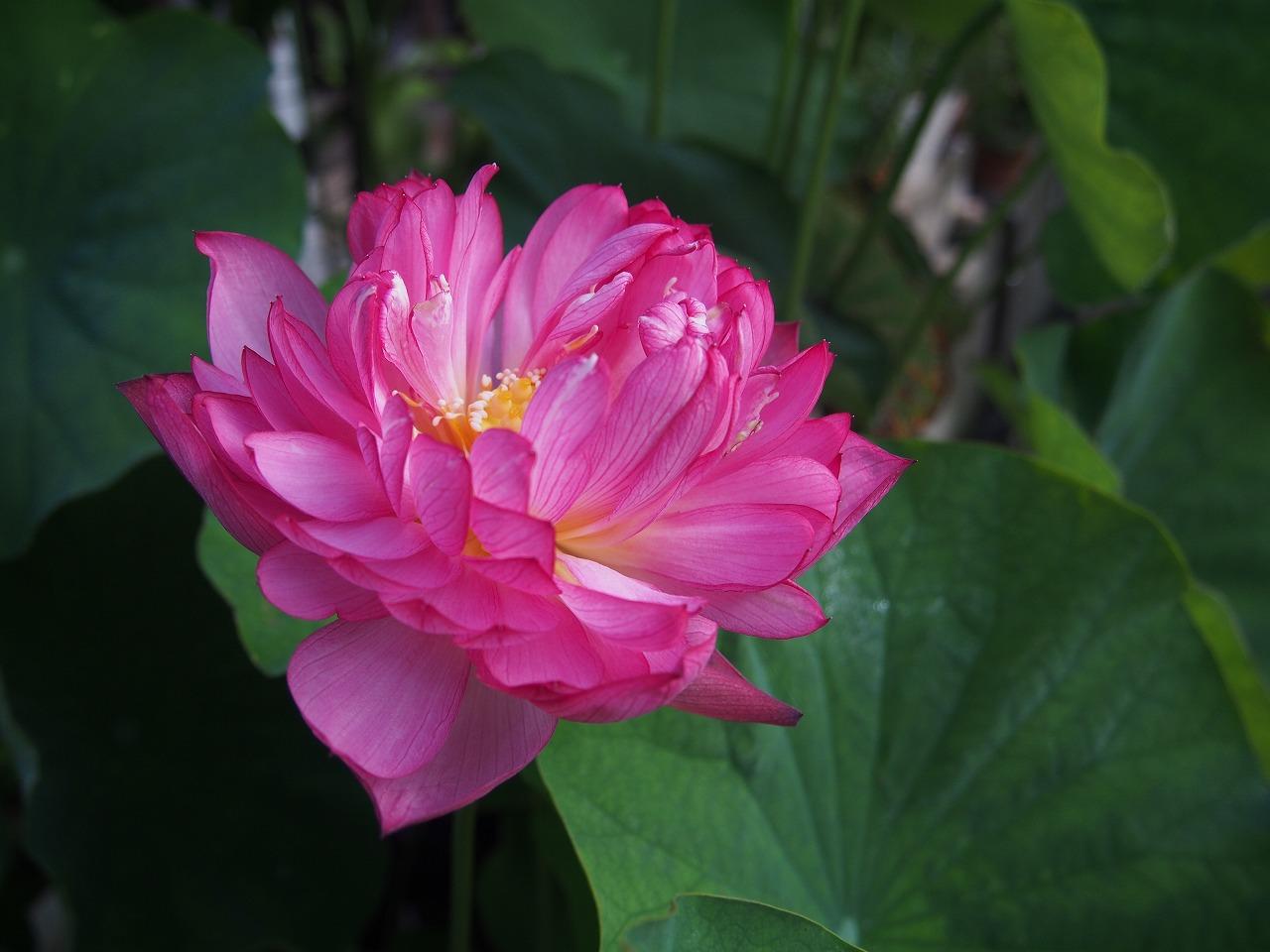 20170706-Lotus_Yaechawanbasu-O01.jpg