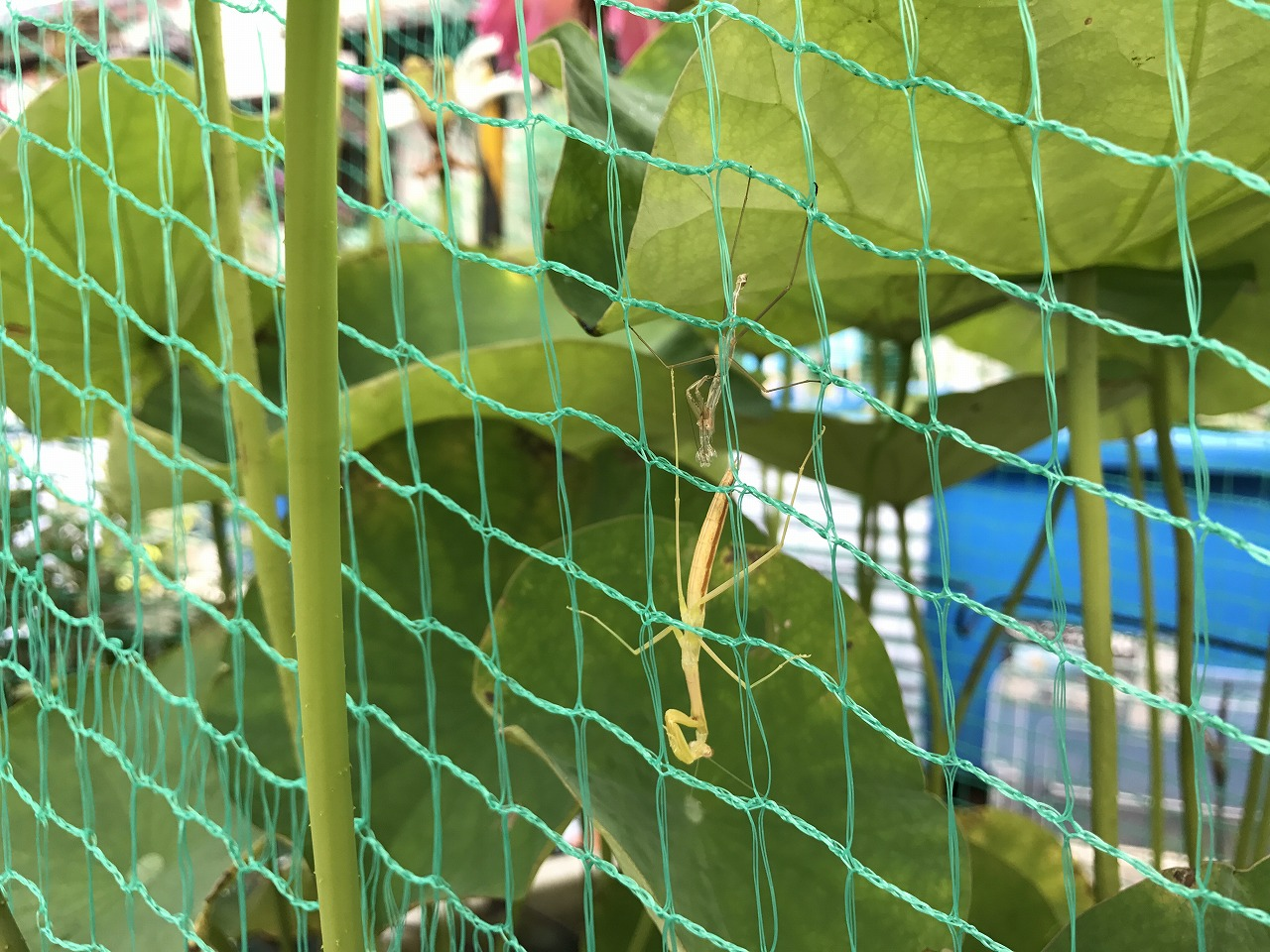 20170706-Mantis-I01.jpg
