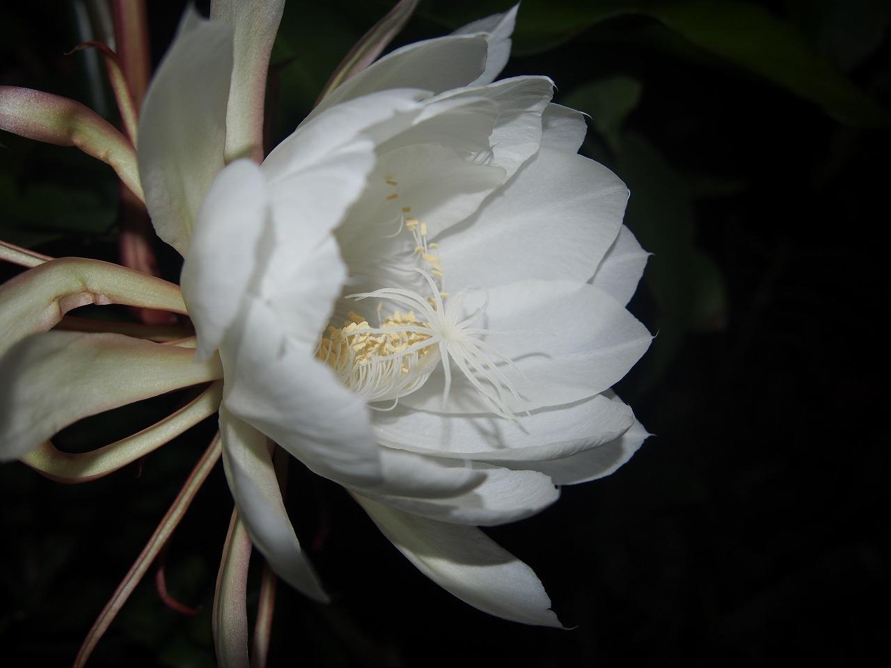 20170707-EpiphyllumOxpetalum-O06.jpg