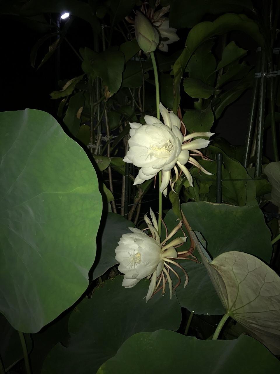 20170708-EpiphyllumOxpetalum-I02-02.jpg