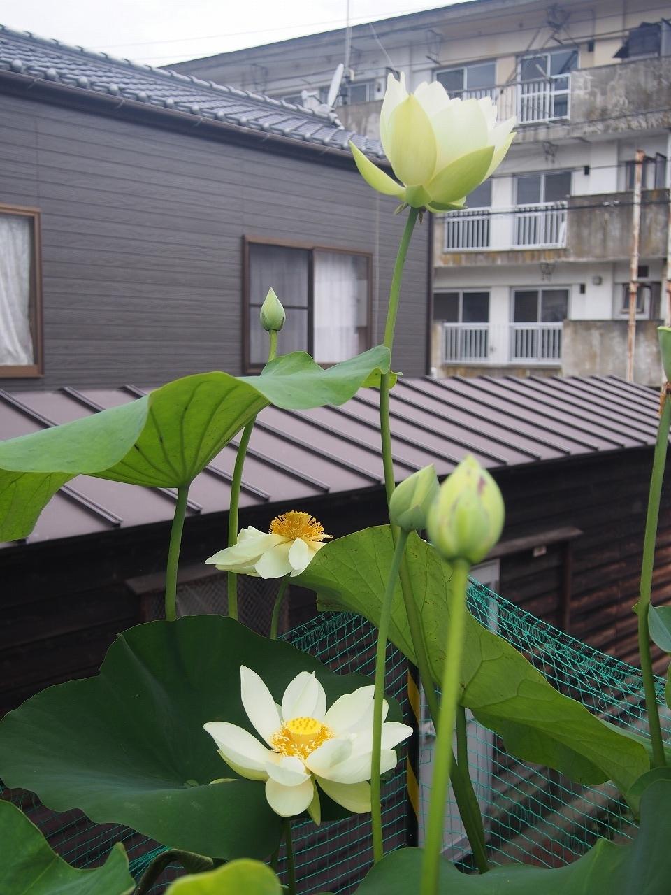 20170708-Lotus_Kougyokuhai-O02.jpg